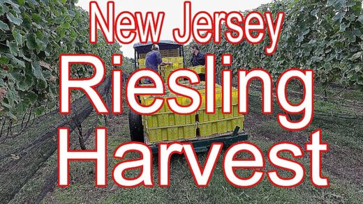 New Jersey Riesling Wine Harvest