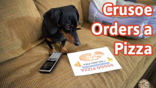 Crusoe Orders a Pizza! (Cute Dog Video Caught on Furbo)
