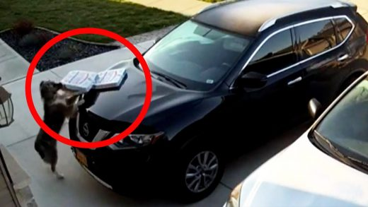 Dog Helps Himself to Pizzas Left on a Car Hood