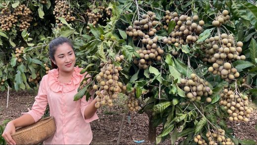 Countryside life TV: Pick Longan fruit to make dessert / Collect vegetable around home for cooking